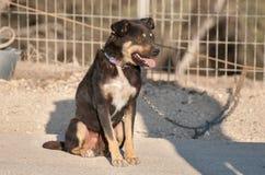 Gniewny, przykuwający pies przy pustynia negew, obrazy stock