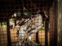 Gniewny ptak w klatce Zdjęcie Royalty Free