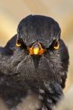 Gniewny ptasi spojrzenie. Obrazy Royalty Free