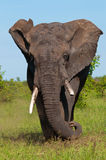 Gniewny słoń Zdjęcie Stock