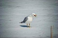 Gniewny Seagull Obraz Stock