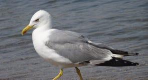 Gniewny seagull iść wzdłuż brzeg obrazy stock