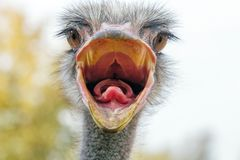 Gniewny struś Zamknięty w górę portreta, zakończenie w górę struś głowy Struthio camelus zdjęcia royalty free