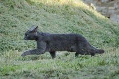 Gniewny szary kot Obraz Royalty Free