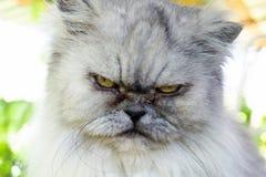 Gniewny szary kot z nieszczęśliwym wyrażeniem, portreta zamknięty up zdjęcie royalty free