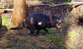 Gniewny Tasmanian diabeł zdjęcie stock