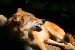 gniewny wilk Zdjęcia Stock