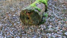 Gnijąca bela z lewej strony umierał w lesie zbiory