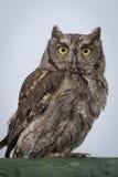 Gnissel Owl Portrait Royaltyfria Bilder