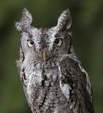 Gnissel Owl Stare Arkivbild