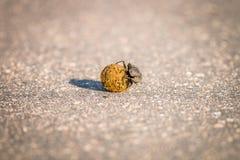 Gnojowa ściga stacza się piłkę łajno w Kruger Fotografia Royalty Free