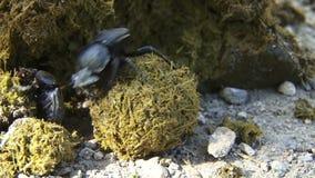 Gnojowe ścigi robi piłce łajno zdjęcie wideo