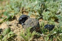 Gnojowe ścigi stacza się gnojową piłkę w Azerbejdżan Obraz Stock