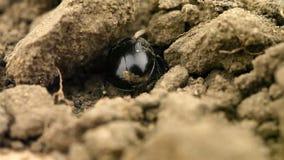 Gnojowej ścigi geotrupes stercorarius głębienie przez ziemi zbiory