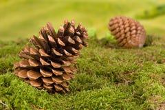 Gnombakgrund med pinecones Fotografering för Bildbyråer