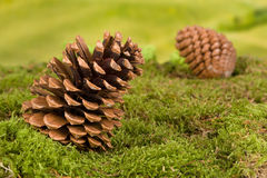 Gnome background with pinecones Stock Image