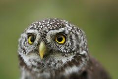 Gnome owl Stock Image