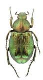 Gnorimus nobilis Stock Images