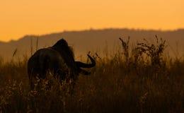 Gnou au coucher du soleil image stock