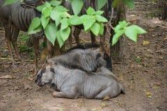 Gnou dans le zoo photographie stock