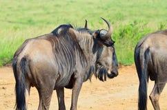 Gnou dans une réservation sud-africaine Photos stock