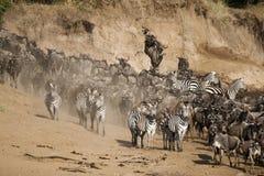 Gnou et zèbre le long de la rivière de Mara, Kenya Image stock