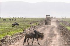 Gnou sur la route Photo libre de droits