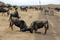 Gnous de combat, cratère de Ngorongoro, Tanzanie photos stock