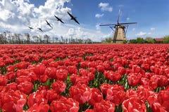Gänse, die über endlosen roten Tulpenbauernhof fliegen Lizenzfreies Stockfoto