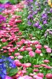 Gänseblümchen Flowerbedhintergrund Stockfotografie