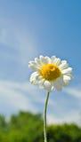 Gänseblümchen gegen einen blauen Himmel Stockfoto