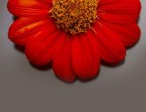 Gänseblümchenblume Lizenzfreie Stockbilder