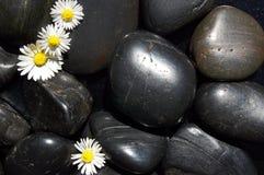 Gänseblümchenblumen auf schwarzen Steinen Lizenzfreies Stockfoto