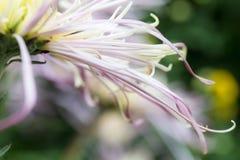 Gänseblümchenblumenblätter Lizenzfreies Stockfoto