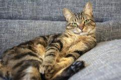 Gnuśnego marbe domowy kot na szarej kanapie, kontakt wzrokowy, śliczny wapno ono przygląda się na tabby twarzy, uwodzicielskiej obraz royalty free