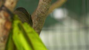Gnuśna opieszałość Przyglądająca w górę drzewa, Costa Rica sanktuarium zdjęcie wideo