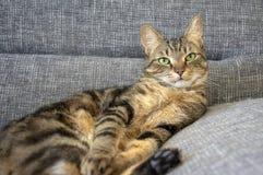 Gnuśnego marbe domowy kot na szarej kanapie, kontakt wzrokowy, śliczny wapno ono przygląda się na tabby twarzy, przystojna chłopi obrazy royalty free