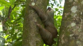 Gnuśnej opieszałości przytulenia dżungli drzewny bagażnik, Costa Rica zdjęcie wideo