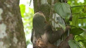 Gnuśnej opieszałości wspinaczkowej dżungli drzewny bagażnik, Costa Rica zbiory