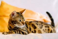 Gnuśny Bengal kot kłaść na łóżku Obrazy Stock
