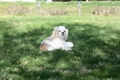 Gnuśny Cocker spaniel kłaść w ładnej zielonej trawie fotografia royalty free
