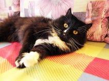 Gnuśny czarny kot kłama na barwionej kanapie Obraz Royalty Free