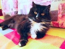 Gnuśny czarny kot kłama na barwionej kanapie Obrazy Stock