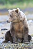 Gnuśny dzień dla brown niedźwiedzia Zdjęcia Stock