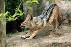 Gnuśny kojot zdjęcie royalty free
