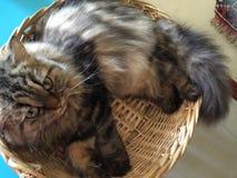 Gnuśny kot fryzujący up w koszu Zdjęcia Royalty Free