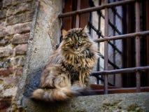 Gnuśny kot na ścianie w Montepulciano, Tuscany Obrazy Stock