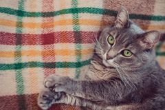 Gnuśny kot relaksuje na miękkiej koc Zwierzęta domowe, styl życia, wygodna jesień lub zima weekend, zimnej pogody pojęcie obraz royalty free