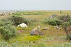 Gnuśny niedźwiedź polarny w tundrze 2 zdjęcia royalty free