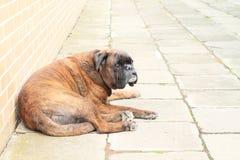 Gnuśny pies obraz stock